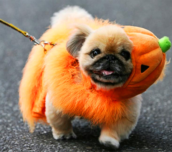 12 Cutest Pet Halloween Costumes That Are Impossible To Beat